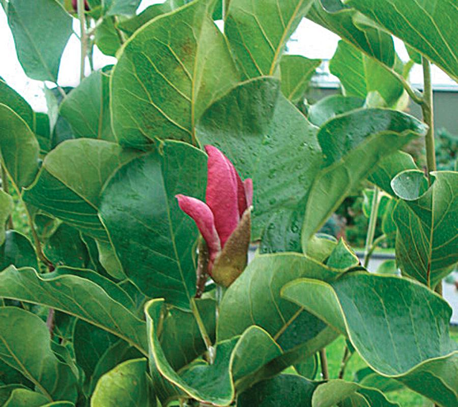 'March 'til Frost' magnolia