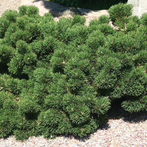 Jakobsen Mugo Pine