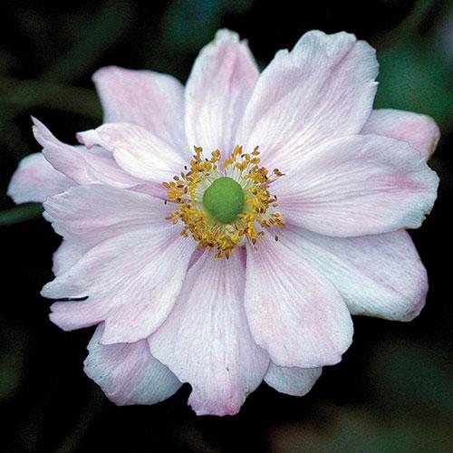 'Königin Charlotte' Japanese anemone