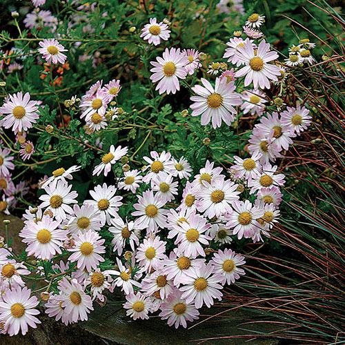 'Venus' chrysanthemum