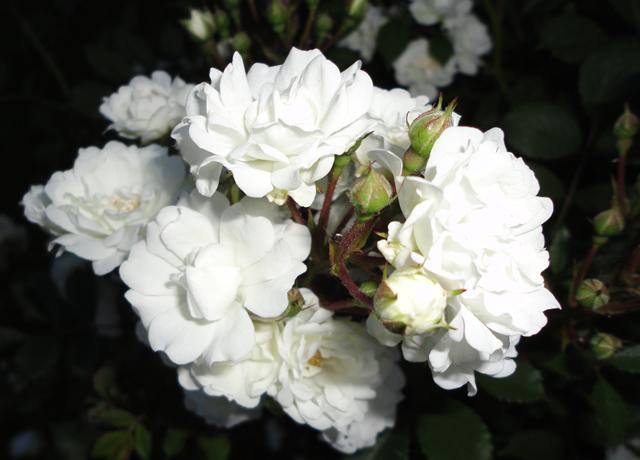 Roses in the black of night finegardening rosa flower carpet white mightylinksfo