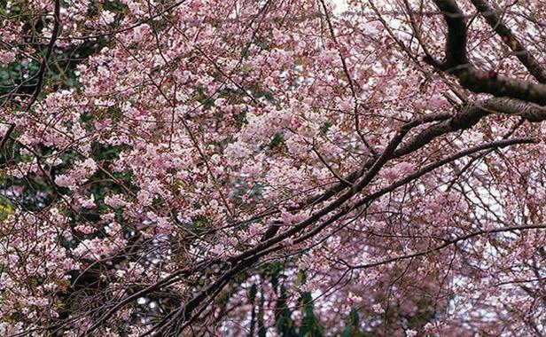 Autumn flowering trees finegardening elegant pink flowers soften the hot hues of fall mightylinksfo