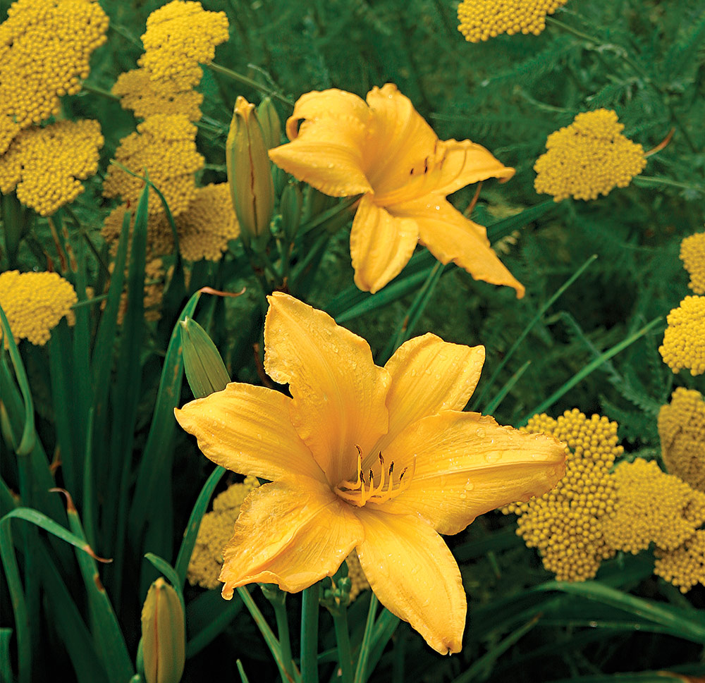Hot Color Families-Yellow - FineGardening