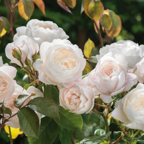 New 2017 Rose Introductions From David Austin Roses