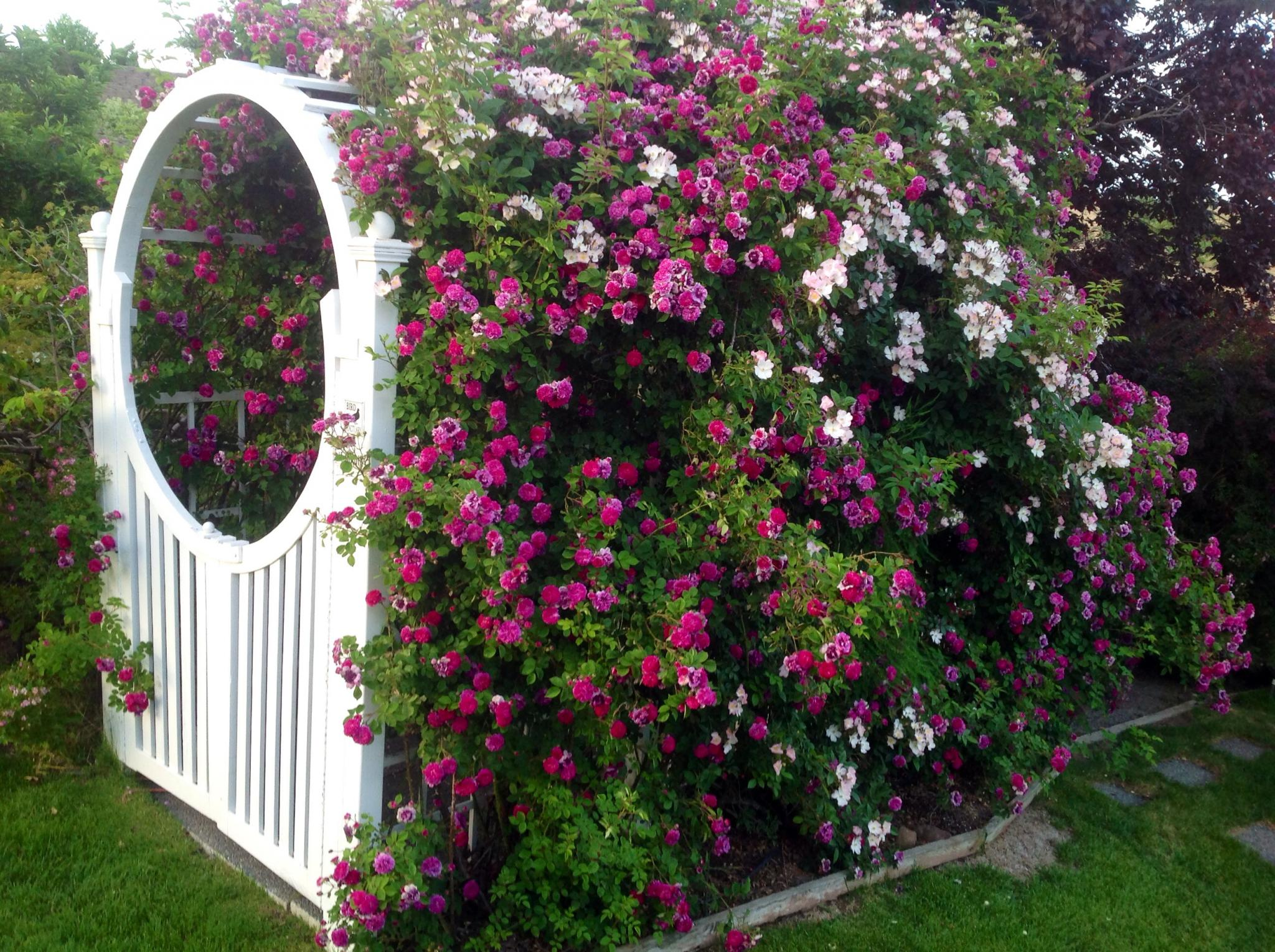 Front Yard Cottage Garden John Cabot Climbing Roses: Patty's Garden In Washington, Day 1