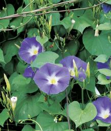 Morning Glories And Moonflowers Finegardening
