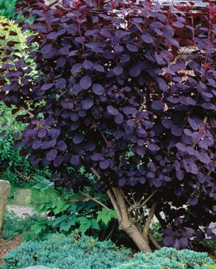 The only shrubs you need to grow finegardening smoldering shades of purple mightylinksfo