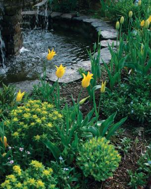 Incroyable The Springtime Blooms Of U0027West Pointu0027 Tulips Echo The Yellow Foliage Of  Perennial Companions. Photo/Illustration: Steven Cominsky