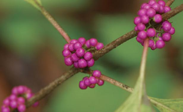 8 trees and shrubs with showy fall fruit finegardening these plants add late season dazzle to a garden when most plants are winding down mightylinksfo