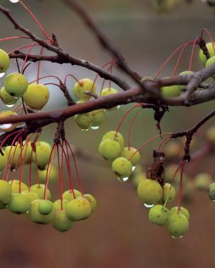 8 trees and shrubs with showy fall fruit finegardening harvest gold flowering crab apple mightylinksfo