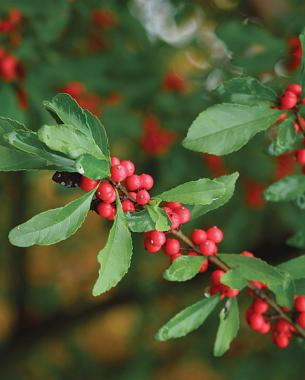 8 trees and shrubs with showy fall fruit finegardening possumhaw possumhaw provides red berries mightylinksfo Gallery