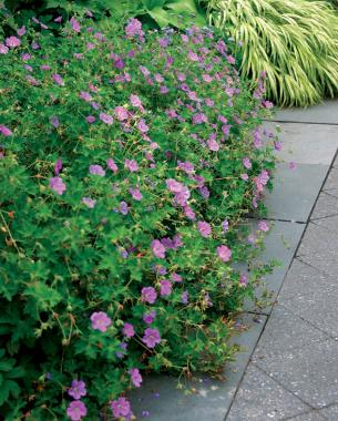 Flowering ground covers finegardening mightylinksfo