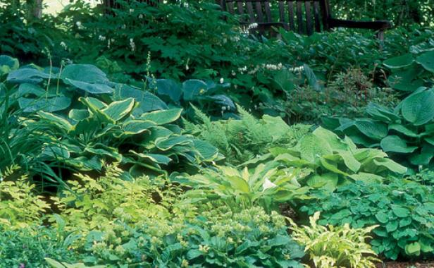 Avoid Too Many Brightly Colored Hostas