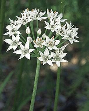 10 ornamental herbs finegardening garlic chives have starry white flowers mightylinksfo