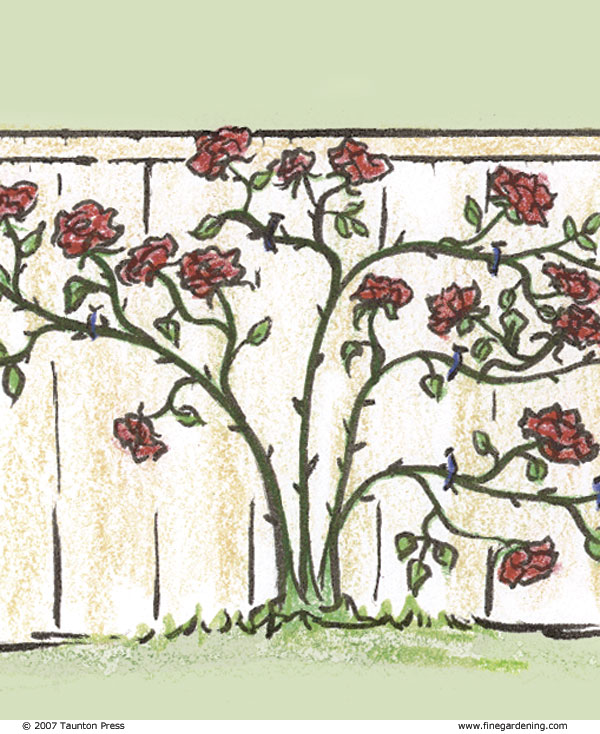 Prune Roses To Match Your Structure