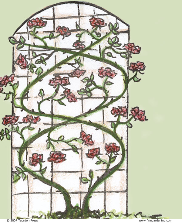 Narrow Trellises Or Walls: If Space Is Limited, I Prefer To Train Roses In  A Zigzag Pattern To Keep As Much Of The Cane As Possible Horizontal.