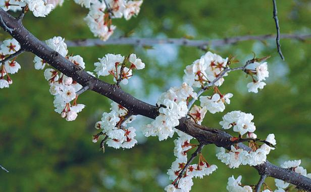 A parade of spring flowering trees finegardening mightylinksfo