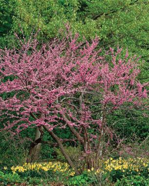 A parade of spring flowering trees finegardening eastern redbud has long lasting blooms mightylinksfo