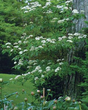 A parade of spring flowering trees finegardening pagoda dogwood likes it cool mightylinksfo
