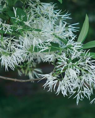 A parade of spring flowering trees finegardening fringetree offers silky white flowers mightylinksfo