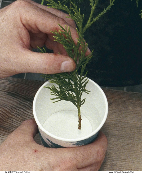 Grow Your Own Conifers From Hardwood Cuttings Finegardening