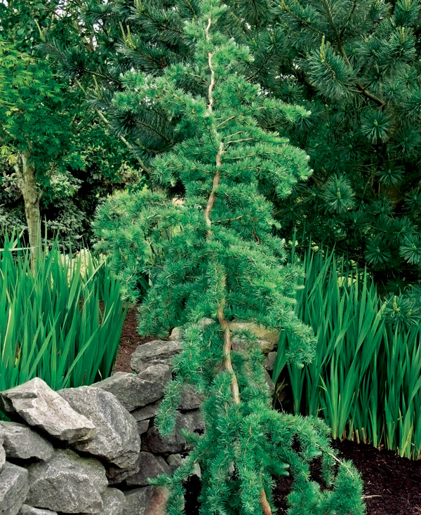 Small Ornamental Evergreen Trees: Trees For Tight Spaces