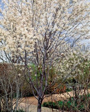 Trees for Tight Spaces - FineGardening