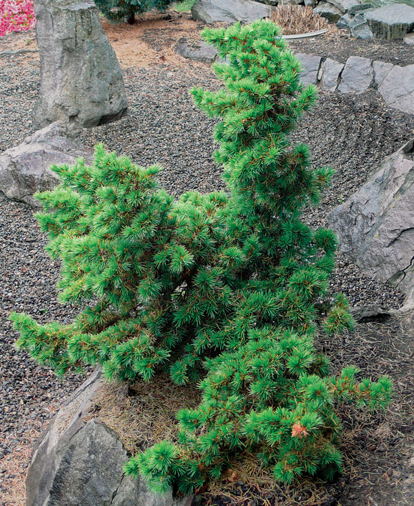 Small Cedar Tree Varieties ~ Trees for tight spaces finegardening