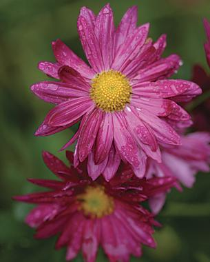 Not your average mums finegardening these workhorse perennials perform year after year mightylinksfo