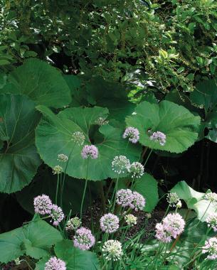 Big leaved perennials finegardening mightylinksfo