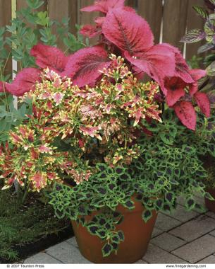 Choose From Colorful Trailing, Medium , Or Large Size Plants To Add Pizzazz  To Containers And Borders
