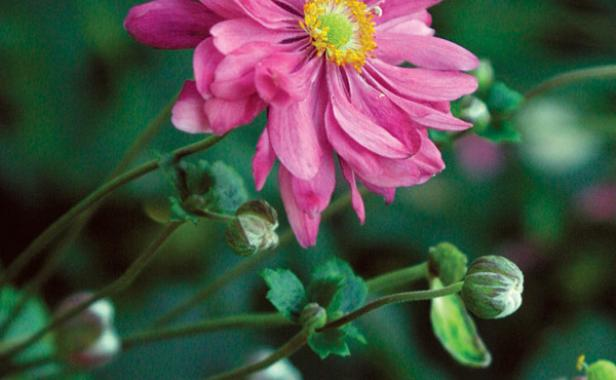 Fall blooming anemones finegardening they prefer partial shade but will tolerate sun mightylinksfo