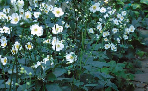 Fall blooming anemones finegardening elegant white blooms brighten shady corners mightylinksfo
