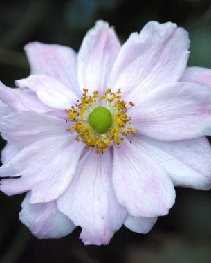 Fall blooming anemones finegardening pale pink varieties bloom from late summer into fall mightylinksfo
