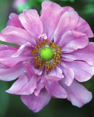 Fall blooming anemones finegardening deep pink blossoms jazz up a scene mightylinksfo