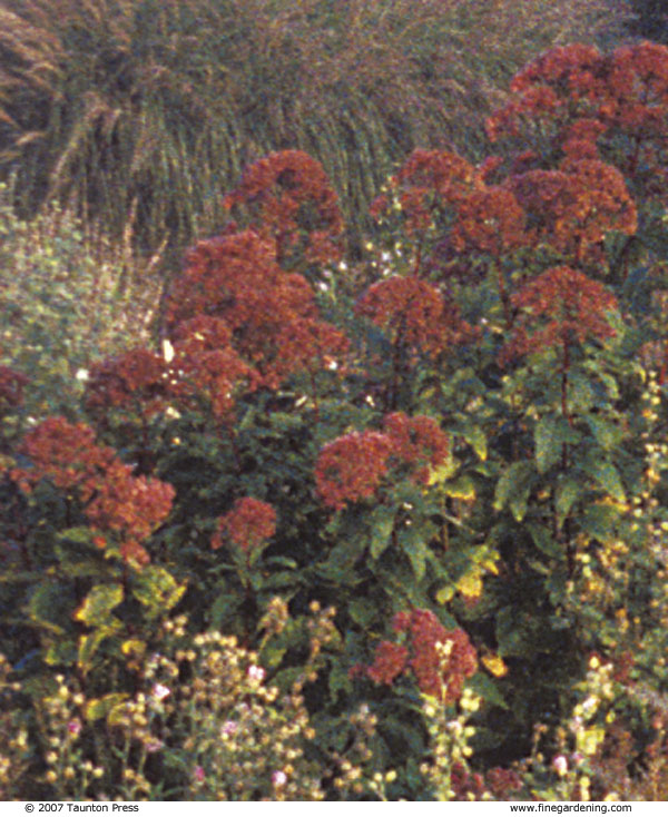 Joe Pye Weed In Autumn.