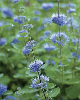 Great plants for a fall cutting garden finegardening blue spirea gets raves as a solo performer mightylinksfo