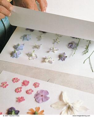 Pressing flowers finegardening sort fresh flowers by type and arrange them face down making sure that none of the blooms are touching sandwich the blooms between sheets of paper mightylinksfo