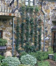 Beautiful Espaliers Command Attention In The Landscape. This Candelabra Design Serves  As The Focal Point In The Authoru0027s Side Garden.