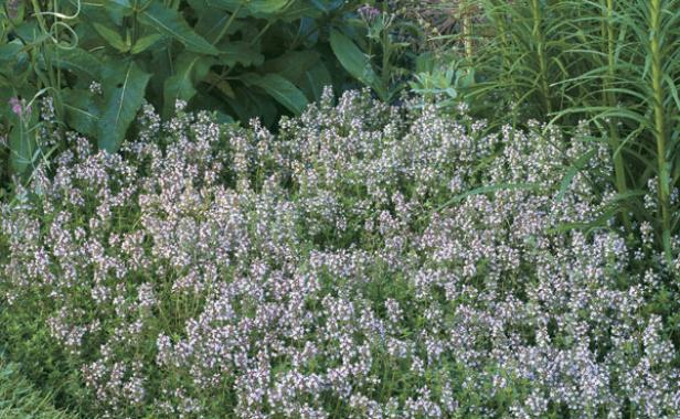 Thyme the fragrant ground cover finegardening this low growing herb brightens paths and borders with aromatic foliage and delicate flowers mightylinksfo