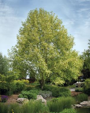 Fast growing trees for impatient gardeners finegardening for Short trees that grow in shade
