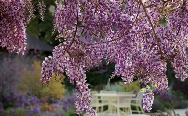 Fragrant plants for pathways finegardening wisterias scent is as good as its looks mightylinksfo