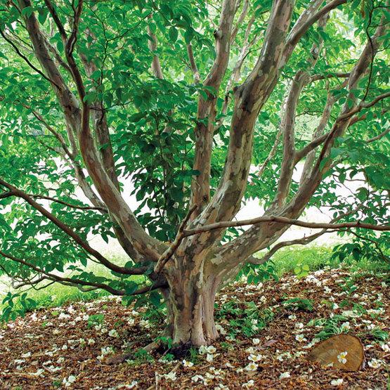 Trees That Always Please Finegardening