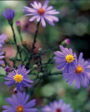 All about asters finegardening bluebird smooth aster photoillustration bill johnson mightylinksfo