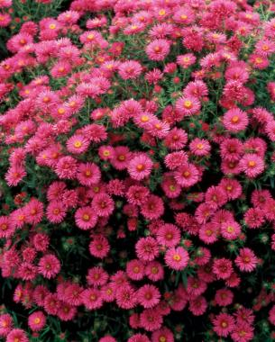 All about asters finegardening all about asters mightylinksfo