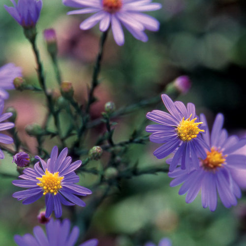 'Bluebird' smooth aster