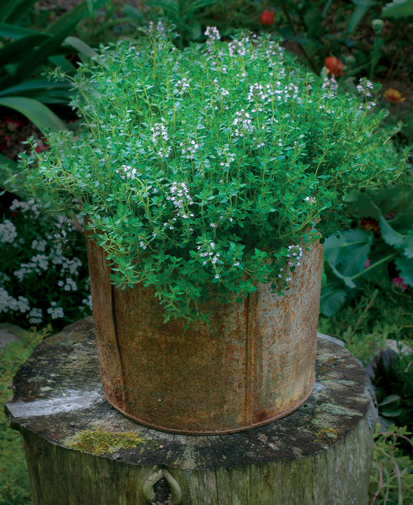 Wonderful Lemon Thyme Is At Its Best In Tight Spaces