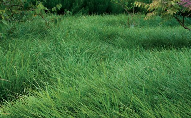 Low maintenance alternatives to lawns finegardening for Best no maintenance plants