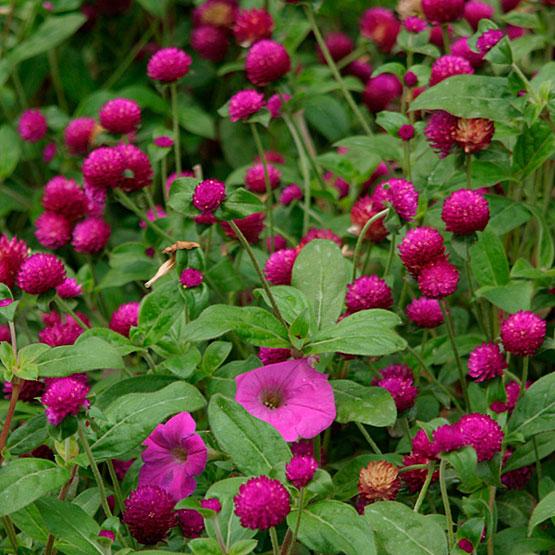 15 deer resistant plants finegardening 15 deer resistant plants mightylinksfo