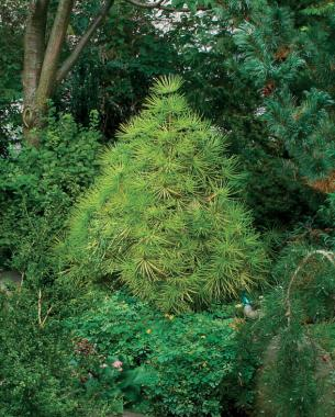 Conifers for Shade FineGardening